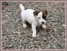 Annie x Spanky jack russell terrier puppy - female