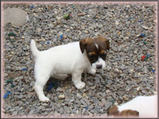 Annie x Spanky jack russell terrier puppy for sale - female