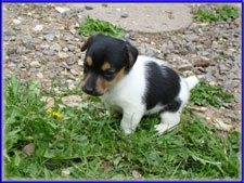 Maggie x Tubs jack russell terrier puppy - female