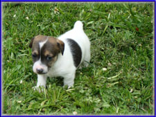 Maggie x Tubs jack russell terrier puppy for sale - female