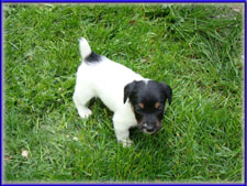 Maggie x Tubs jack russell terrier puppy for sale - male