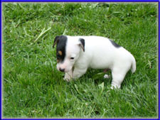 Maggie x Tubs jack russell terrier puppy - male for sale