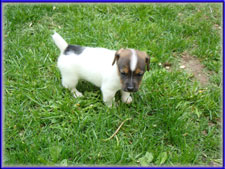 Maggie x Tubs jack russell terrier puppy - male