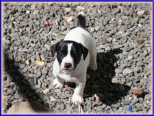 Rizzo x Ryder jack russell terrier puppy - female