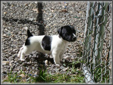 Rizzo x Ryder jack russell terrier puppy - male