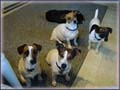 Jack Russell Terrier Moms play for fun