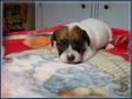 Jack Russell Terrier Puppies (shortys) Photo Gallery