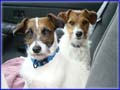Jack Russell Terrier Dogs & Puppies Photo Gallery - all are shortys