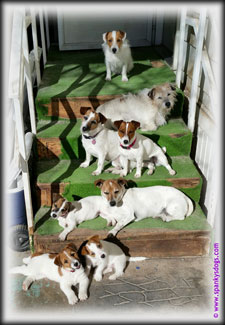 Jack Russell Terrier Family on steps at home at SpankysDogs.com