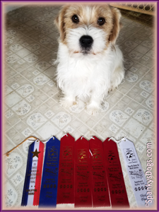 Chloe - jack russell terrier female - wins agility trials