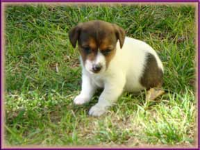 Jack Russell Terrier Puppies for sale in Colorado