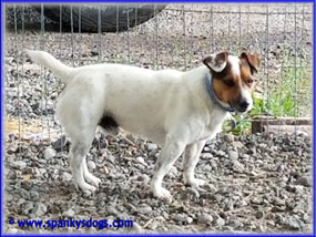 Winston - sire of Russell Terrier Puppies for sale pictured above