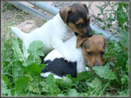 Jack Russell Terrier Puppies - shortys for sale